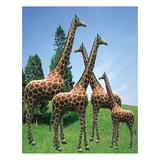 动物园系列 -长颈鹿