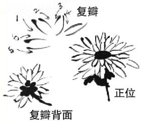 菊花画法.jpg